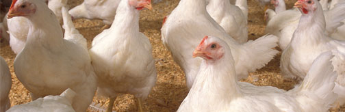 Image of chickens